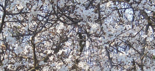 Trees like this plum show their blossoms earlier and earlier each year. This photo taken in Mid-February is of a local tree in full bloom, a sign some say of unusual climate activity. (Photo: Jake Shafer | The Prospector)