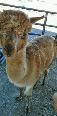 A Yuba College farm alpaca.